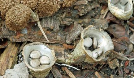 Cyathes: comme des nids d'œufs